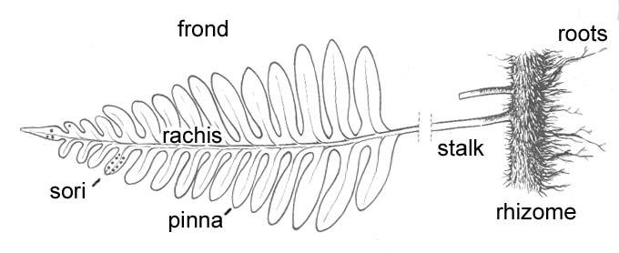 Fern Stem Diagram Trusted Wiring Diagram