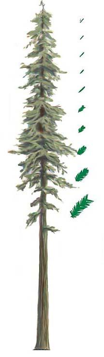 Giant Redwoods Height