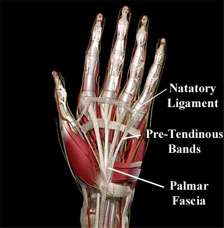 The palmar fascia.