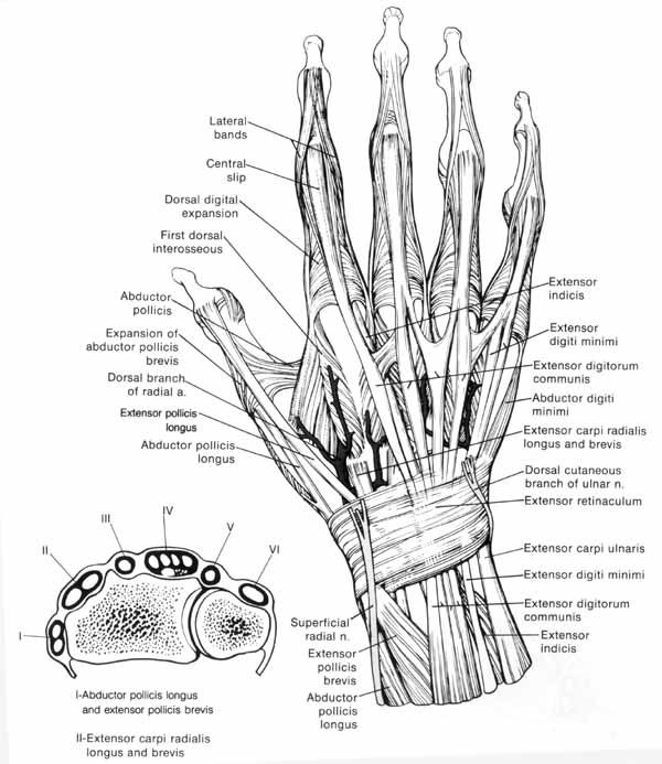 human anatomy diagram hand anatomy diagram anatomy question - wetcanvas